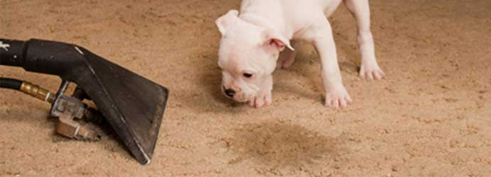 Pet stain and odour removal from carpet and upholstery Melbourne